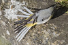 Grey Wagtail Tail Feathers Church Lock 16 03 18 (mickfrown) Tags: church lock grove leighton buzzard grey wagtail preening