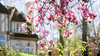 Magnolia in front of the Manor House (幻影留梦) Tags: gibbs garden early spring flower statue japanese georgia south living sony fe 24105mm f4 g oss lens sel24105g magnolia purple red mulan blossom 木兰花 atlanta ga