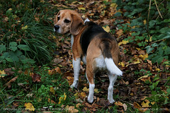 Are they following me? (srkirad) Tags: animal dog beagle wood forest travel fruškagora mountain trekking hiking autumn vojvodina serbia srbija grass leaves green yellow
