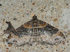 Xanthorhoe ferrugata - Dark-barred twin-spot carpet - Ларенция изменчивая (Cossus) Tags: geometridae larentiinae xanthorhoe пестово пяденица 2009
