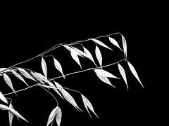 Bow.jpg (Klaus Ressmann) Tags: klaus ressmann omd em1 grass nature summer blackandwhite contrast design flcnat macrophotography minimal stem klausressmann omdem1