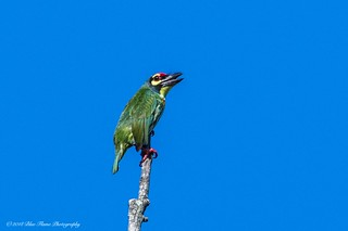 Coppersmith Barbet ©