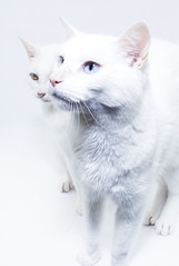 Astra and Cosmo (RedPlanetClaire) Tags: high key cat white pet cats astra cosmo