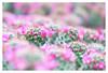 Flowering (leo.roos) Tags: cactus cacti hothouses greenhouses kassen westland cactusnursery cactuskwekerij vanderlinden honselersdijk a7 meyerprimotar8035 1954 exakta darosa leoroos dayprime day80 dayprime2018 dyxum challenge prime primes lenzen brandpuntsafstand focallength fl