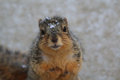 Squirrels On a Snowy Winter's Day in Ann Arbor at the University of Michigan (March 1st, 2018) (cseeman) Tags: gobluesquirrels squirrels annarbor michigan animal campus universityofmichigan umsquirrels03012018 winter eating peanut marchumsquirrel snow snowy sunny