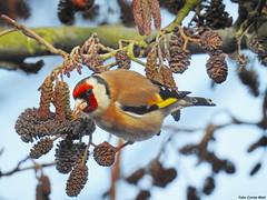 Goldfinch (Corine Bliek) Tags: cardueliscarduelis vogel vogels bird birds nature natuur wildlife