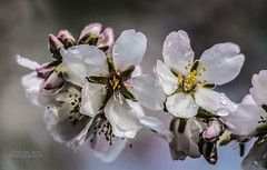 A Blush of blossom (ChrisKirbyCapturePhotography) Tags: almond blossom pink fruittree nuts orchards parrots willunga raindrops