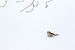 Long Tailed Tit in the Snow IV