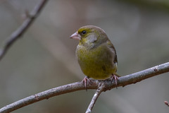 greenfinch (colin 1957) Tags: greenfinch finches verdier deurope verdierdeurope
