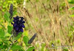 Flor do Cerrado (Marquinhos Aventureiro) Tags: wildlife vida selvagem natureza floresta brasil brazil hx400 marquinhos aventureiro marquinhosaventureiro flor flower cerrado adventure nature