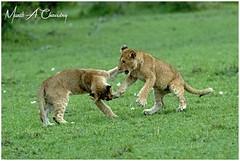 Cubs Playing at Sunset! (MAC's Wild Pixels) Tags: cubsplayingatsunset lion lionpride lioncub pantheraleo wildcats lionking lions bigpussycat animal wildlife mammal africanwildlife wildlifephotography beautifulpussy safari gamedrive outdoors outofafrica savannahplains sunset goldenhour goldenlight masaimara maasaimaragamereserve kenya macswildpixels alittlebeauty coth coth5 ngc