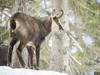 P3100185 (turbok) Tags: gipfel gämsen landschaft säugetiere tiere tressenstein wildtiere c kurt krimberger