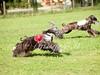 CoursingVillaverla2016w-075 (Jessica Sola - Overlook) Tags: dogs sighthounds afghanhounds greyhounds saluki barzoi italiangreyhounds irishwolfhounds lurecoursing lure race run dograces field greengrass