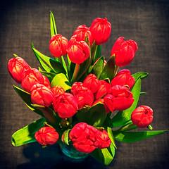 Tulpen (Jan 1147) Tags: tulips tulpen rood red bloem bloemen flower flowers depinte belgium