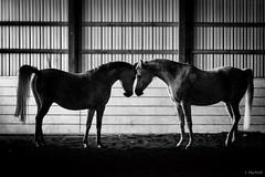 (Jen MacNeill) Tags: roze arabians arabian horse horses equine grey gray equestrian bnw bw blackandwhite symmetry symmetrical two friends