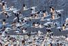 Snow Geese (trek22-) Tags: explore20180314 explored geese snowgeese snow morning flyingbirds birds canon mark3 5d3 pennsylvania trek22