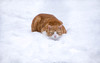 Snow Cat (cuppyuppycake) Tags: ginger cat animal snow fluffy white pet outdoors