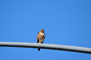 Red-tailed Hawk  (0728)