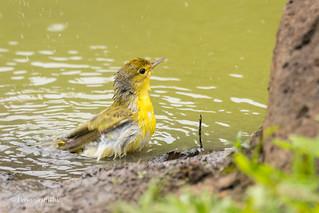 Mangrove Warbler - Bath time D85_1581.jpg