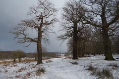 Ancient oak's In Winter (Declan Pic's) Tags: richmond snow winter winterscene oaktrees uk subzero