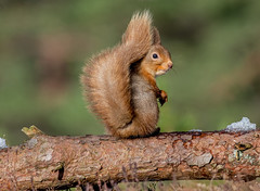 JWL8926  Red Squirrel.. (jefflack Wildlife&Nature) Tags: redsquirrel squirrel animal animals mammal wildlife woodlands forest cairngorms countryside nature scotland highlands caledonian