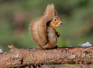 JWL8926  Red Squirrel..