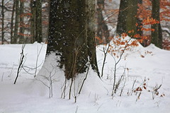 Forest Trees in Winter (David K. Marti) Tags: forest woods tree trees plant landscape scenic scenery detail closeup trunk branch branches twigs leaves foliage country countryside nature natural wood wooden light shadow day daylight snow cold snowfall flakes winter season seasonal outdoors outdoor outside color colored colorful white black brown orange red reddish peaceful calm quiet coldness