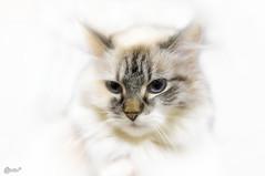 Siberian dream (Kerenskys) Tags: cat cats pet animal nikon indoor котенок