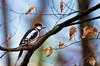 the little drummer boy (cherryspicks (off)) Tags: nature bird woodpecker forest tree woodland sigmasport150600mm birding djetlić