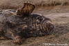Say Cheeeese (davidrhall1234) Tags: greysealhalichoerusgrypus atlanticgreyseal sea mammal marine animal donnanook countryside coast coastal conservation nature nikon portrait outdoors wildlife wildlifetrust lincolnshire claw