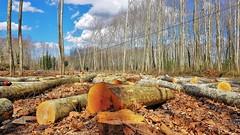 Desforestació! (josepponsibusquet.) Tags: devesa dehesa arbeda arbre arbol desforestació salt gironès catalunya catalonia cataluña