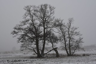Am Südermoor - Schwarz-Erlen (Alnus glutinosa); Bergenhusen, Stapelholm (4)