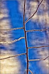 Frosted Sections (Bob's Digital Eye) Tags: abstract backlit bobsdigitaleye canon canonefs55250mmf456isstm depthoffield feb2018 flicker flickr frost hoarefrost macro snow t3i winter wintercolour winterinmn
