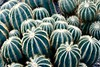 Defensive Crowd (Anne Marie Clarke) Tags: cactus cacti spines desert greenhouse succulents friday flora 7dwf