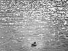Black water lights and shapes (al.scuderi71) Tags: water black white nuances panasonic gh4 lake park mandarina duck anatra lights stars lines shapes arte artistic riflessi reflection bw on1 on1photoraw on1photoraw2018 bianco nero grey grigio center centro uccelli