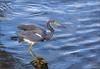 Tri-Coloured Heron (hey its k) Tags: birds florida florida2018 heron nature sanibelisland tricolouredheron wildlife sanibel unitedstates us img8588e
