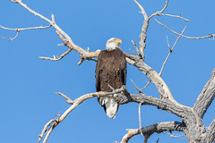 Male Bald Eagle hanging out across the river