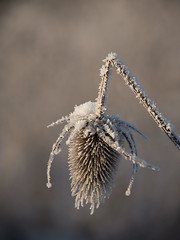 Rupture (Titole) Tags: teasel broken frost frosted shallowdof titole nicolefaton cold