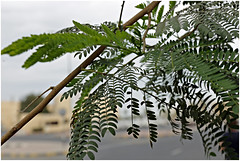 ras al khaimah 38 (beauty of all things) Tags: vae uae rasalkhaimah flora