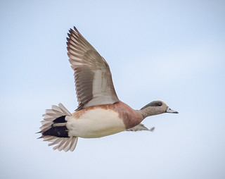 American Wigeon fly-by