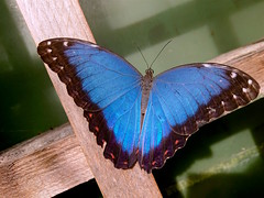 Blue Morpho (esala.kaluperuma) Tags: butterfly insect butterflyfarm stratforduponavon macro esala esalakaluperuma