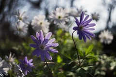 Wildflowers (Stefano Rugolo) Tags: stefanorugolo pentax k5 pentaxk5 kepcorautowideanglemc28mm128 light bokeh spring 2017 ricohimaging anemoneapennina backlight depthoffield lazio italy countryside underwood woodland wildflowers blooming blossom wind flowers flowerbed perspective angle