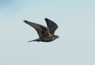 Gyrfalcon / Fálki (Falco rusticolus)