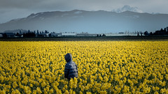 Gray Day Among the Daffodils II (SomethingUWontForget) Tags: mount vernon baker daffodils yellow person blue gray flower farm skagit valley nikon d7200 mountain