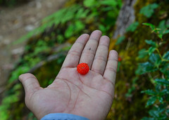 Red berries on woman hand (phuong.sg@gmail.com) Tags: autumn background berry blueberry bogberry botany bunch close cranberry dessert diet female finger floral food forest fresh freshness fruit green hand handful harvest health healthy heap hold human ingredient juicy leaf lifestyle mooseberry moss mountain natural nature nepal nutrient organic palm red refreshment ripe wet woman