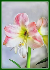 Amaryllis (scorpion (13)) Tags: flower blossom plant nature color creative frame things spring livingroom photoart