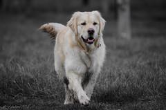 Golden Retriever (fabakira) Tags: fabakira fabakiraphotography fabakiraphotography2018 nikon d7000 nikkor nikkor200500 goldenretriever dog chien animal animaldecompagnie regard nikonphotographers nikonphotography nikonartists