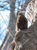 Eastern Grey Squirrel 2 (D. S. Hałas) Tags: halas hałas canada ontario haltonregion haltoncounty oakville nipegontrail chordata sarcopterygii mammalia rodentia sciuridae sciuruscarolinensis easterngreysquirrel easterngraysquirrel squirrel