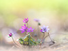 Rejoice in spring (Tomo M) Tags: hepatica soft pastel ユキワリソウ ミスミソウ bokeh forest nature pink green spring abigfave dreamy