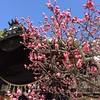 神社の春 The spring of the shrine (eyawlk60) Tags: 春 神社 大利神社 spring jinja shrine ume